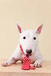 ブルテリア犬