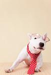 ブルテリア犬と眼鏡
