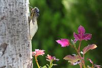 真夏の木立とセミ 楓の木とクマゼミ