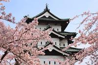 弘前城と満開の桜
