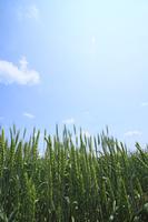 青空と小麦畑