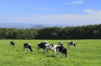 青空と牧場の牛