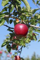 リンゴの木と青空