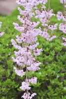 弘前公園の枝垂桜