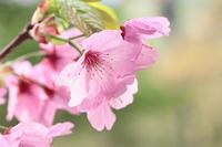 弘前公園の桜のクローズアップ
