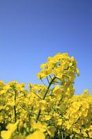 菜の花畑と青空