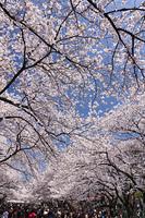 花見客でにぎわう上野公園