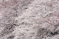 千鳥ヶ淵の桜並木