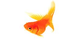 赤い金魚上昇・旋回中の魚
