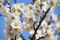 偕楽園に咲く誇る白梅