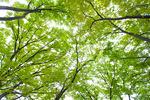 新緑のケヤキの木