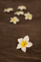 プルメリアの花びら