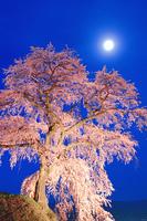 ライトアップされた枝垂れ桜と満月