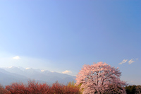 桜と残雪の中央アルプス