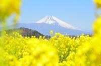 菜の花と富士山