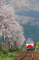 桜並木と南阿蘇鉄道