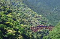 阿蘇北向山原始林のシイの花とトロッコ列車