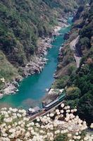 ミツマタと峡谷とトロッコ列車