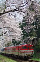 咲花の桜並木と列車