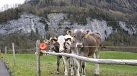 スイスの小道:スイスの牧場と牛