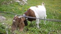 スイスの小道:スイスの牧場と子牛