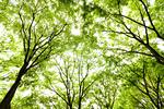 新緑のケヤキ並木