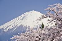 富士山と満開の桜の花