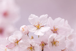 サクラの花