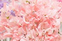 スイトピーの花