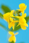 センダイハギの花