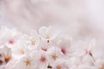 ソ メイヨシノの花