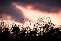 夕焼けと絵の頃草のシルエット