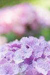 アジサイの花畑
