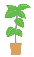 観葉植物 ゴムノキ