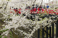 弘前公園下乗橋の桜と花見客