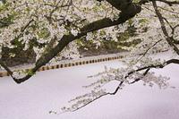 弘前公園の桜とお堀