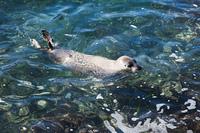 利尻島のアザラシ