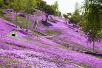 滝上公園の芝桜