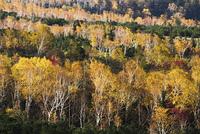 美瑛町望岳台付近の紅葉