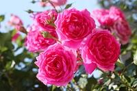 バラ(つるピンク・クラウド)