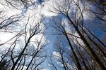 冬空と枯木立