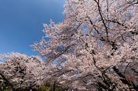 上野公園の桜並木
