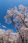 桜が満開の上野公園