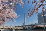 東京スカイツリーと桜並木