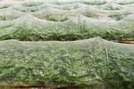 防虫ネットをかけた野菜畑