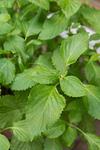 アオジソ の栽培