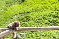 南伊豆波勝崎の猿