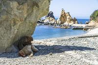 南伊豆波勝崎の猿、岩の陰で毛づくろいをする猿