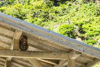 南伊豆波勝崎の猿、軒裏に座って面白い表情を浮かべる子供の猿