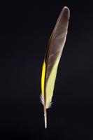 マヒワの風切羽根